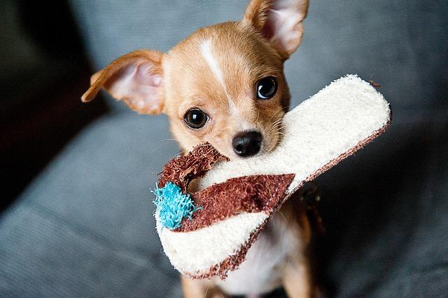 Cuidados de los Chihuahuas