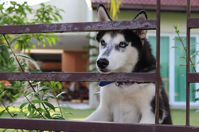 Cuidados de los Huskys Siberianos
