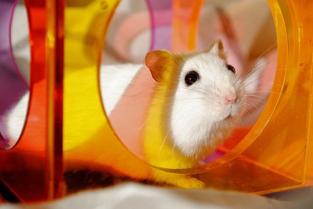 Cuidados Hamster