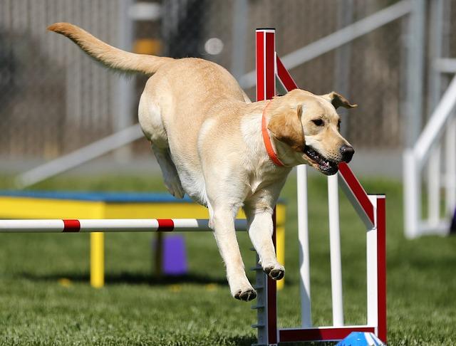 Cuidados del Labrador Retriever