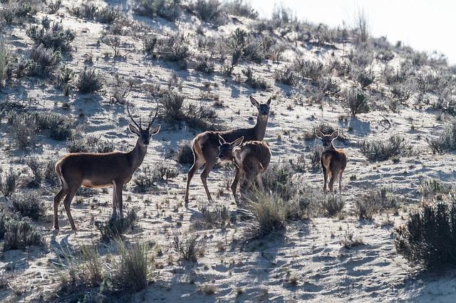 Ciervos en Doñana