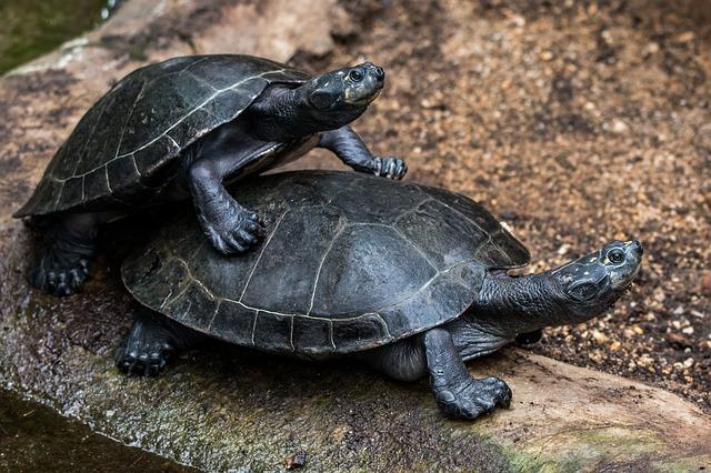 Reproducción de las tortugas de agua