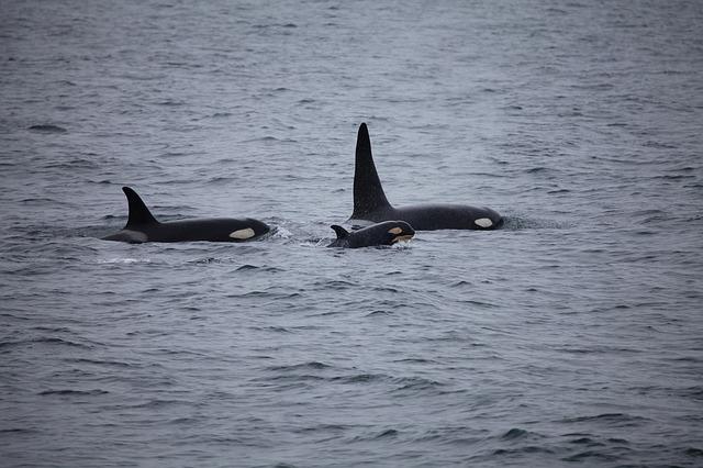 ver orcas en el país vasco 2020