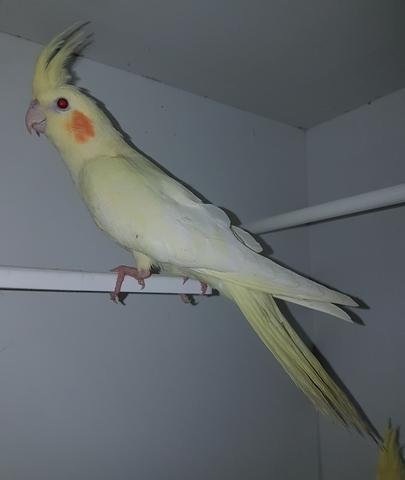 pajaro amarillo con copete, tipos de ninfas aves