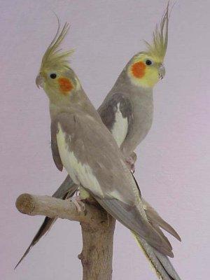 tipos de ninfas canelas, ninfas isabela, aves