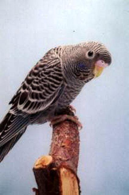 periquito cara negra, periquitos colores raros, periquitos y canarios