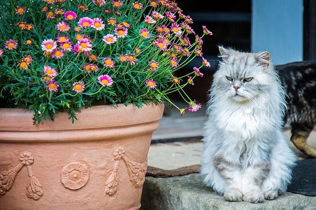 como-cuidar-un-gato-persa