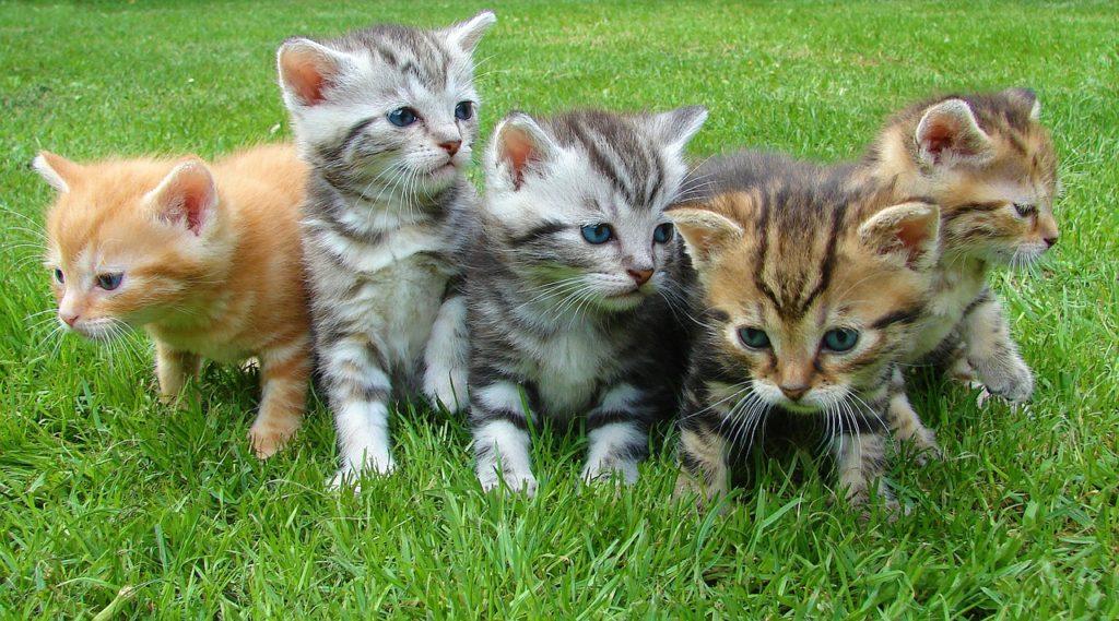 como-cuidar-un-gato, caracteristicas-de-los-gatos