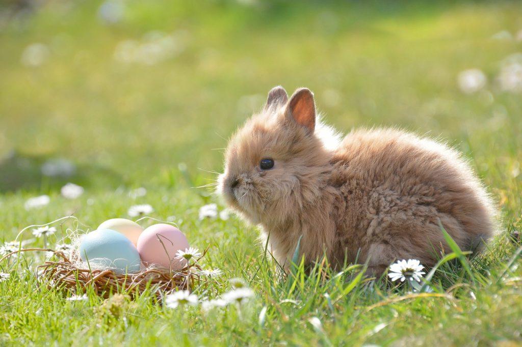 cuidados-de-conejos-domésticos, conejo-toy-holandés