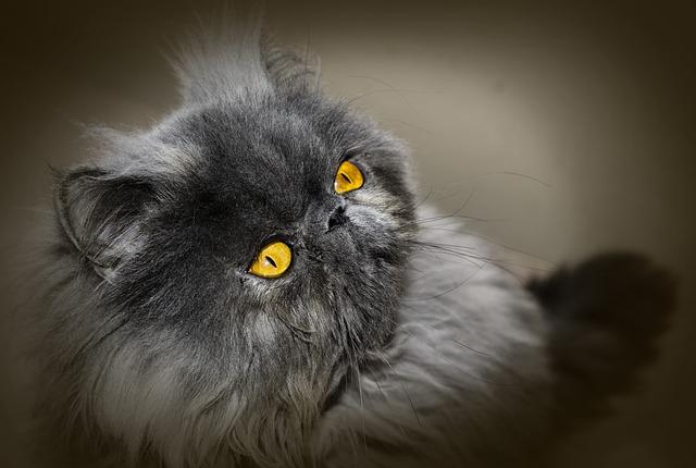 cuidados-de-gato-persa