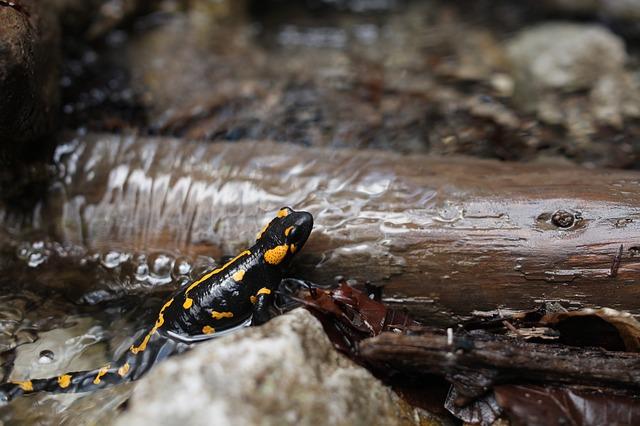 cuanto-viven-las-salamandras, que-comen-las-salamandras