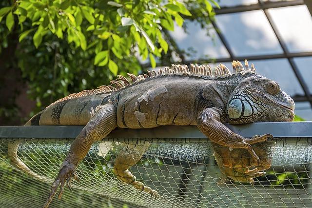 como cuidar de una iguana en cautividad,