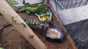 igunas bebe comiendo