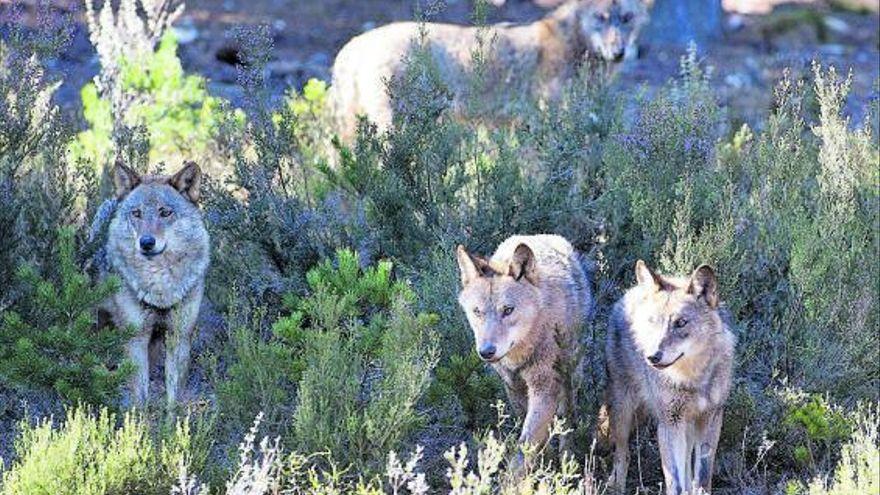 Nuevo censo de Lobos en España, prohibida la caza de lobos en españa