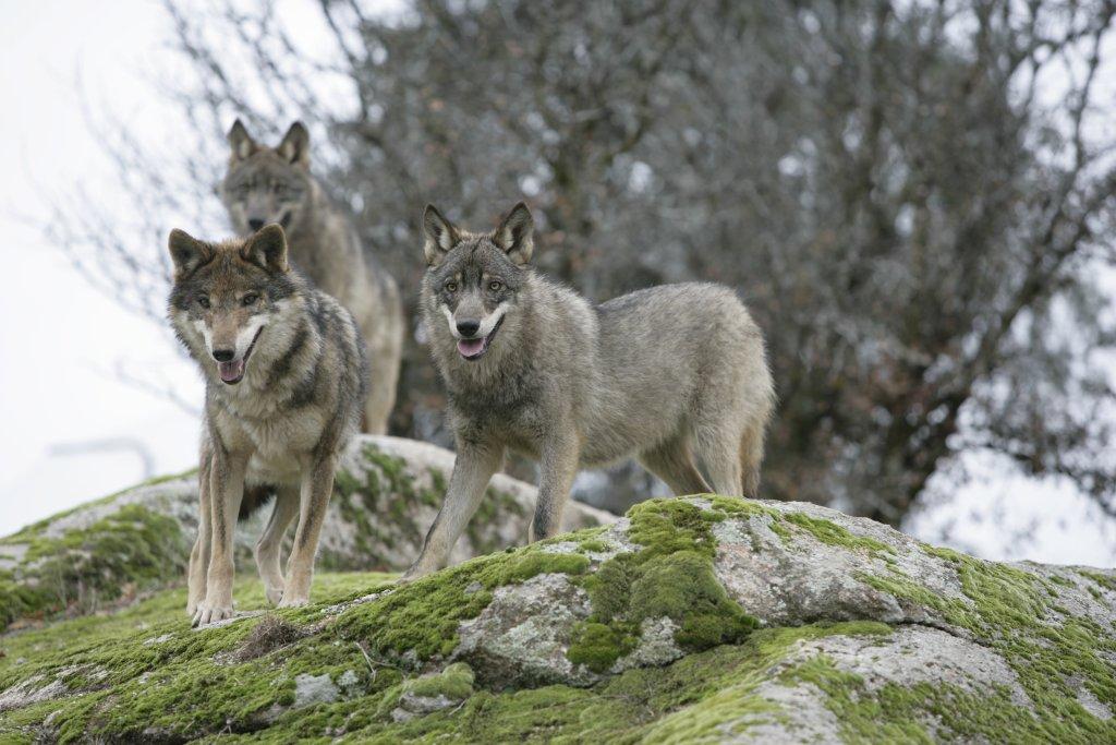 prohibición de la caza de lobos en España